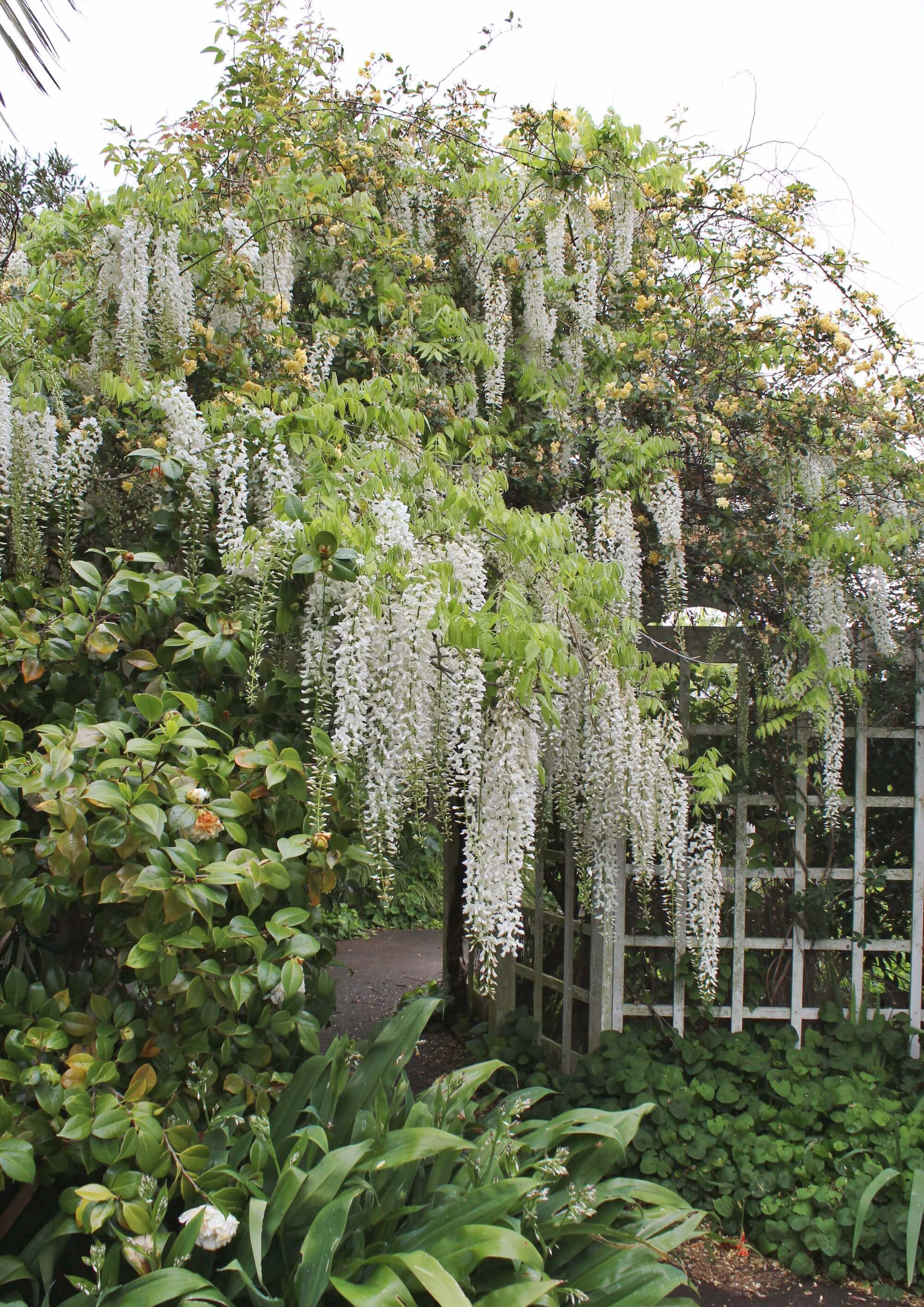 The-wisteria-and-banksia-were-magnificent-this-spring